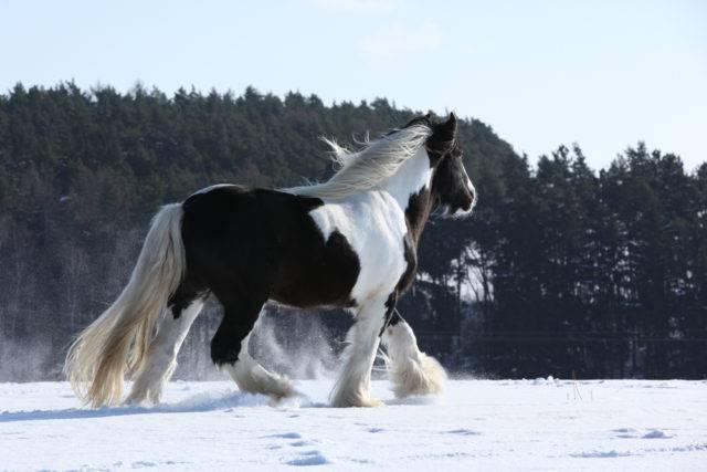 konie cob irlandzki