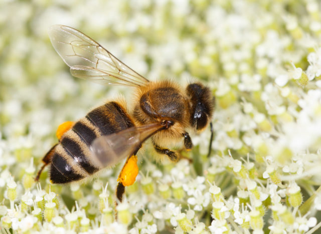 pszczoła miodna z pyłkiem kwiatowym