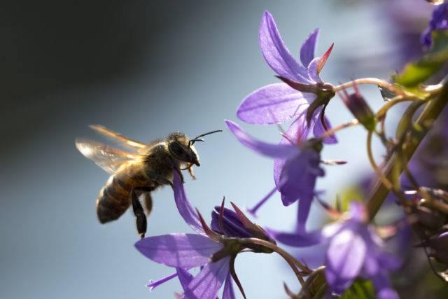 pszczoła miodna zdjęcie