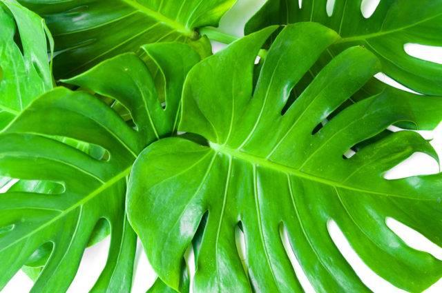 trujące rośliny doniczkowe filodendron