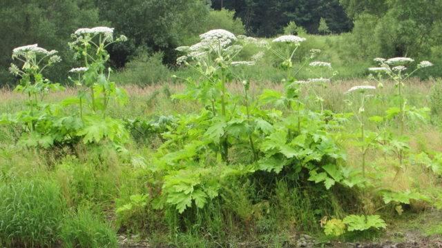 trujące rośliny w polsce barszcz sosnowskiego