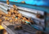 Znaczenie pszczół w przyrodzie i dla człowieka