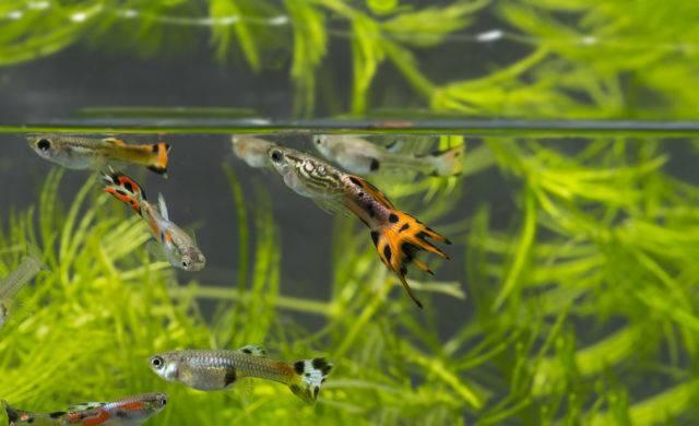 popularna ryba akwariowa gupik pawie oczko