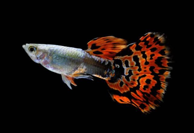 ryba gupik pawie oczko