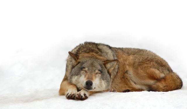 śpiący wilk szary
