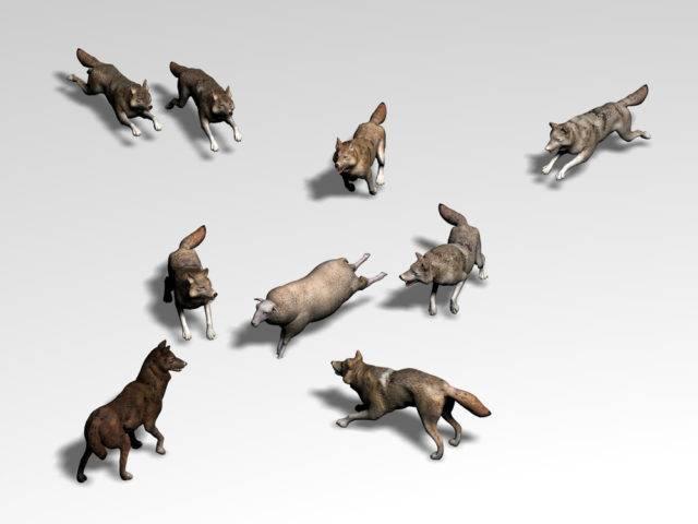 jak wilki polują