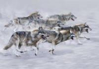 Jak wilki polują?