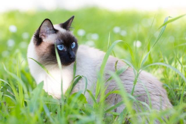 kot syjamski w trawie