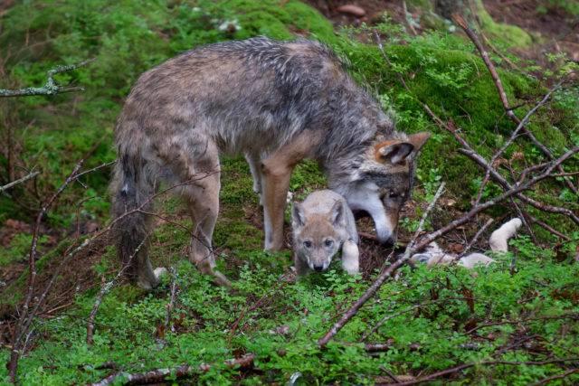 wilk szary z młodymi