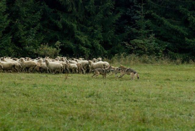 wilki polujące na zwierzęta hodowlane owce