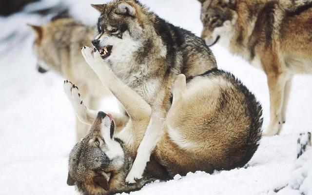 walka o dominacje w stadzie wilków