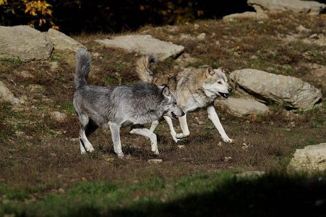 dwa wilki