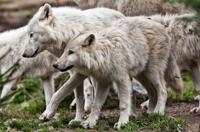 wilki zwierzęta groźne czy ?