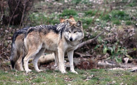 Wilki (zwierzęta)