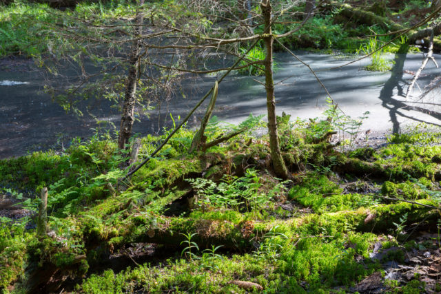roślinność puszczy białowieskiej foto