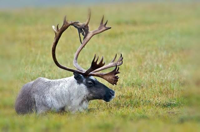 ssak z rodziny jeleniowatych