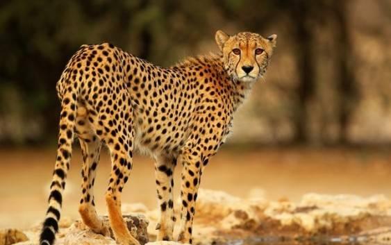 Gepard (Acinonyx), drapieżnik z rodziny kotowatych