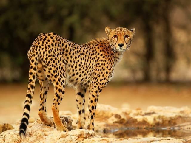 Gepard Kot Internetowe Królestwo Zwierząt