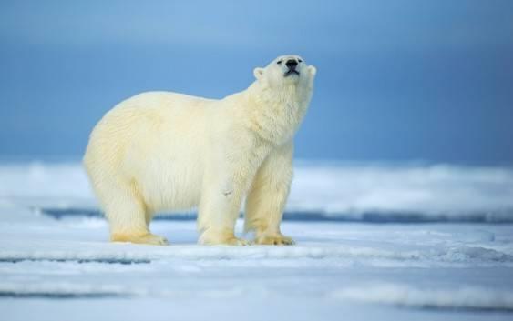 Niedźwiedź polarny (Ursus maritimus)