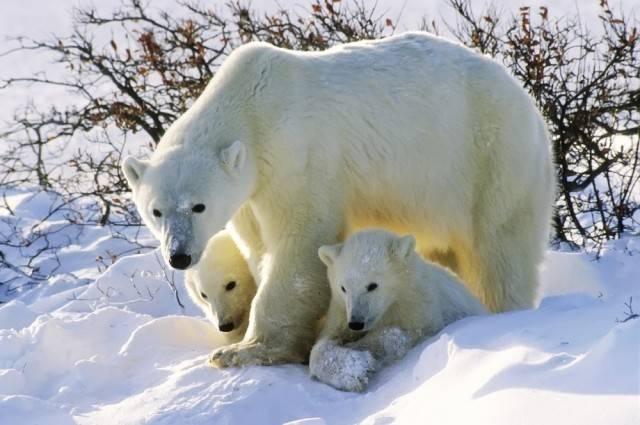 niedźwiedź polarny matka z młodymi