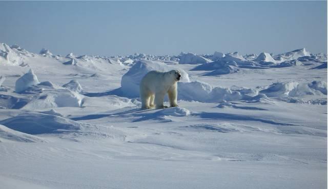 polujący niedźwiedź