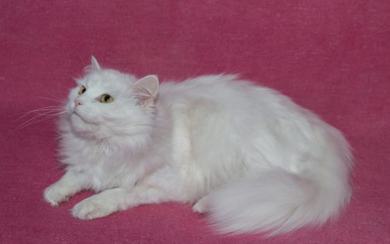 Angora turecka (Turkish Angora Cat)