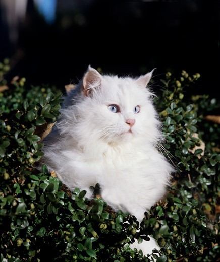 biały kot angora turecka