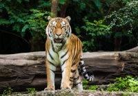 Tygrys azjatycki, tygrys (Panthera tigris)