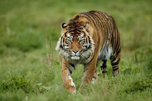 tygrys na polowaniu