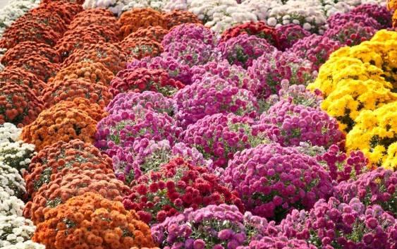 Chryzantemy najpiękniejsze jesienne kwiaty