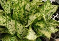 Difenbachia trująca roślina doniczkowa
