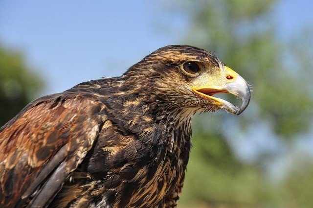 dziób orła przedniego
