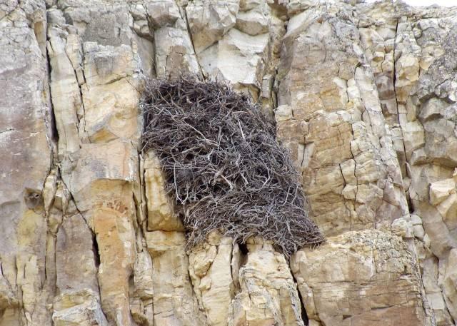 gniazdo orła przedniego