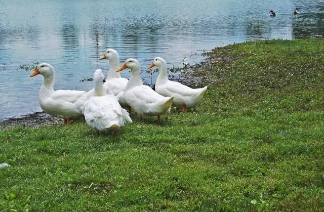 kaczki domowe