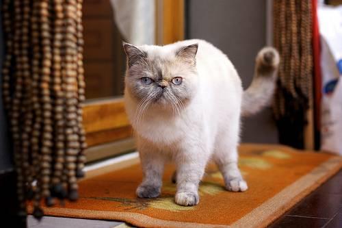 Kot Egzotyczny Exotic Cena Charakter I Pielęgnacja