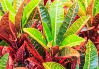 Kroton (Codiaeum veriegatum)