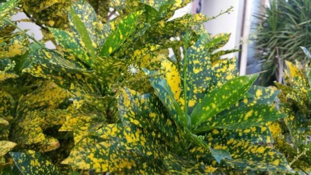 kroton variegatum 'Gold Dust'