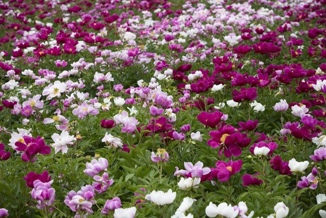kwiaty rabatowe wieloletnie piwonie