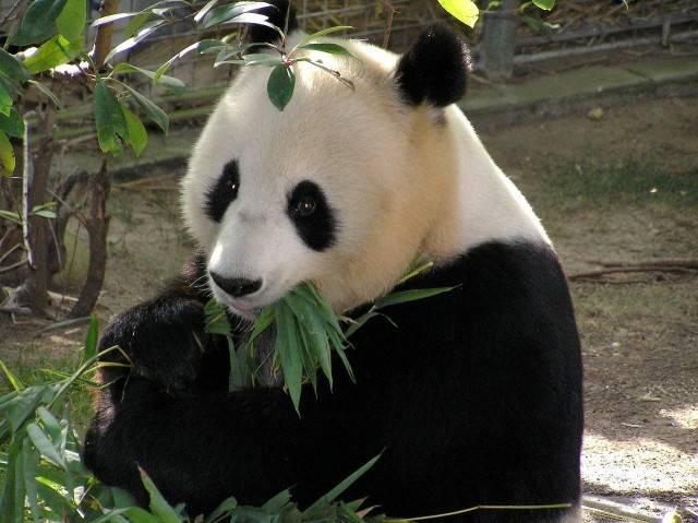 Panda wielka zagrożony gatunek