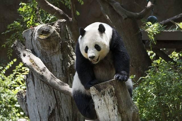 panda wielka w zoo