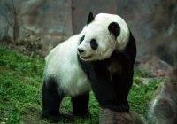 Panda wielka gatunek zagrożony wyginięciem
