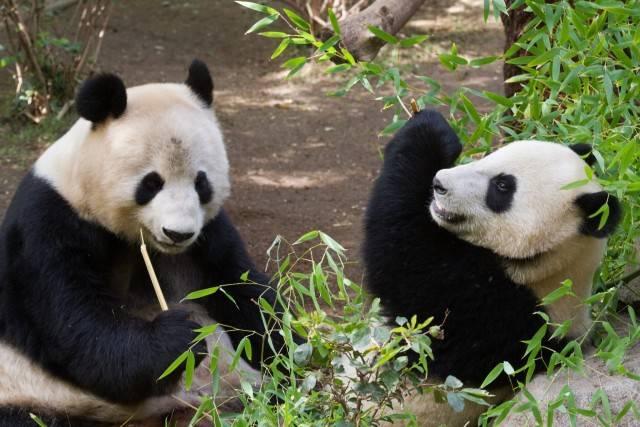 pandy wielkie