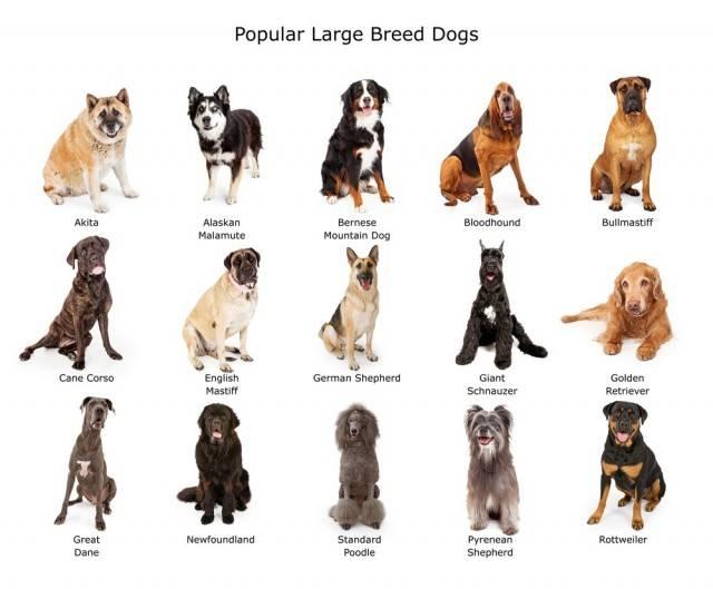 wybór odpowiedniej rasy psa