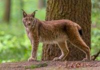 Ryś euroazjatycki (Lynxlynx)
