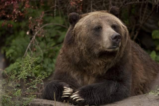 grizli niedźwiedź