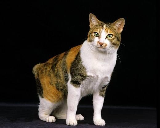 kot japoński bobtail bez ogona