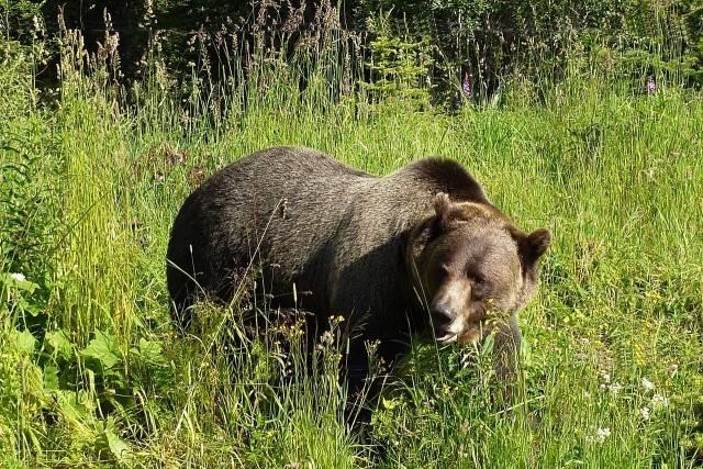 niebezpieczne zwierzę grizzly