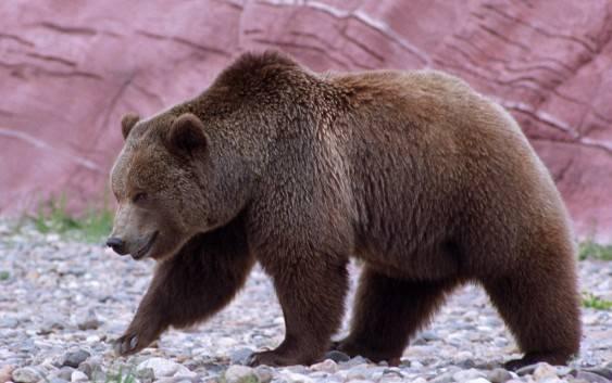Niedźwiedź grizzly (niedźwiedź szary)