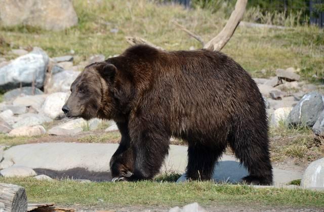 ssak niedźwiedź grizzly
