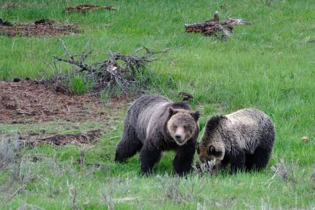 dwa niedźwiedzie grizzly